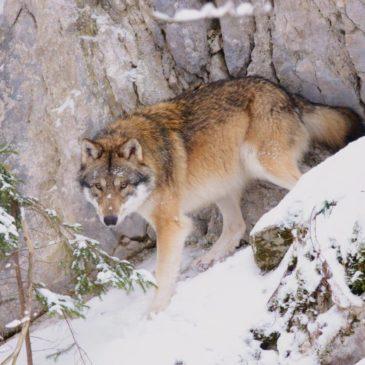Arrivée d'un nouveau loup à Juraparc: Wucki